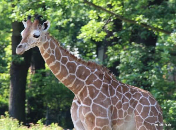 Baby Giraffe im Berliner Zoo