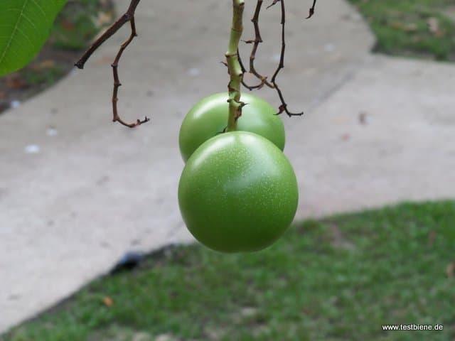 exotische Früchte direkt an unserer Terrasse