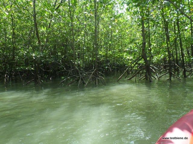 mit dem Kanu im Mangroven-Wald