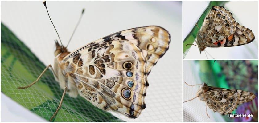 1-Schmetterlinge5